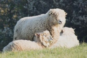 Cotswold Sheep called Lions